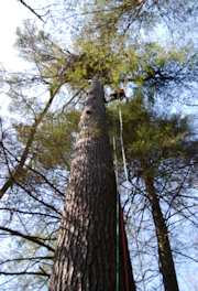 Climbing a giant White Pine in North GA